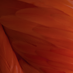 Red Feather Wallpaper