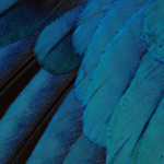 Turquoise Feather Wallpaper