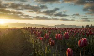 Tulip sunrise wide gamut picture.